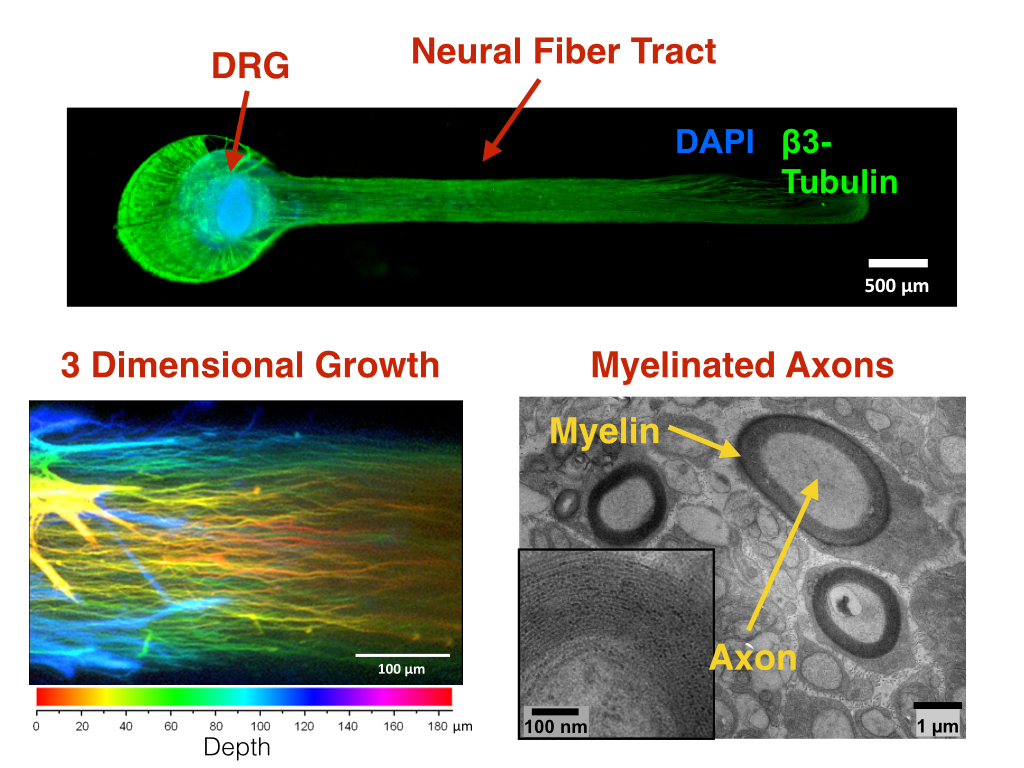 Frontiers | Myelinated 3D neural culture platform as a