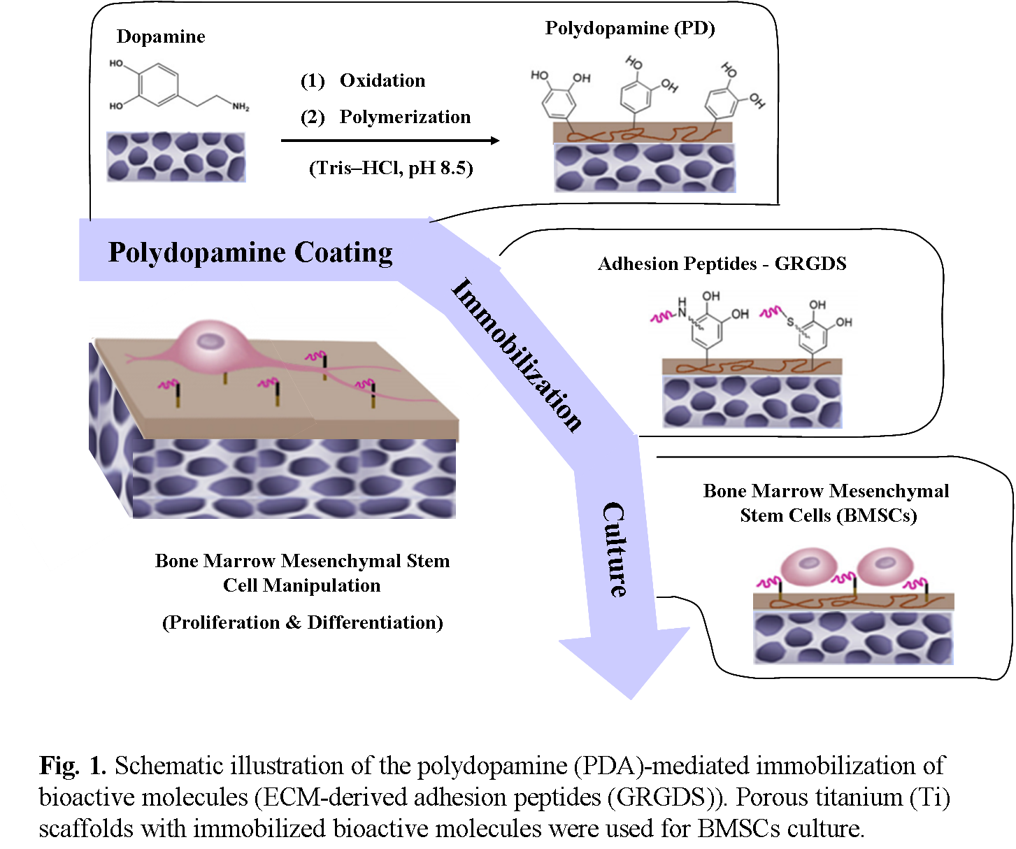 Influence of high protein diets on cartilage and bone formation in rats